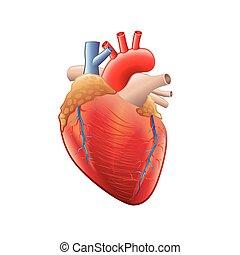 corazón, aislado, anatomía, vector, humano, blanco