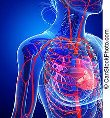 corazón, arterias, hembra