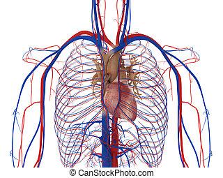 corazón, arterias, y, venas