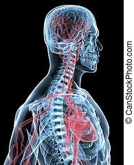 corazón, cerebro humano