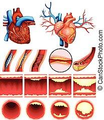 corazón, colesterol