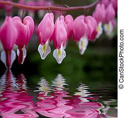 corazón de sangría, flor, dicentra