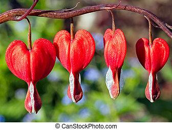 corazón de sangría, flores, rojo