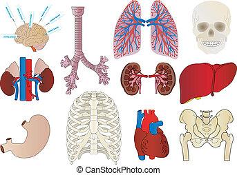 corazón, estómago, interno, conjunto, persona, hígado, ...