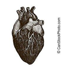 corazón, humano, anatómico