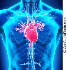 corazón humano, anatomía