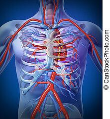 corazón humano, circulación, en, un, esqueleto