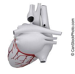 corazón humano, con, coronario