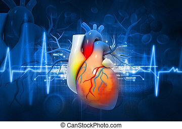 corazón, humano