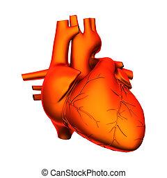 corazón, interno, aislado, -, órganos