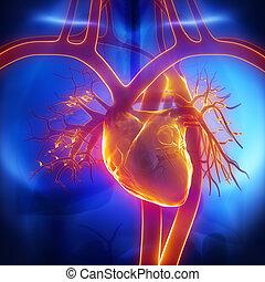 corazón, pulmonar, tronco, aorta, vena