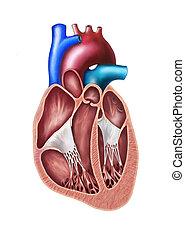 corazón, sección