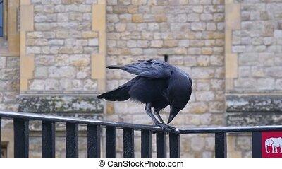 corbeau, tour, londres, noir, royaume-uni