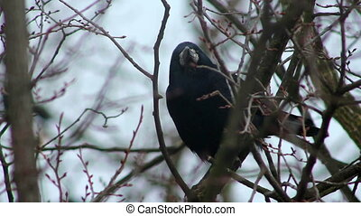 corbeaux, sur, arbre