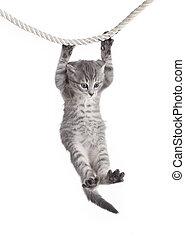 corda, gatto, tabby, appendere