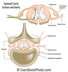 corde, spinal, section, croix