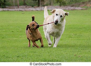 corde, tirer, chiens jouet