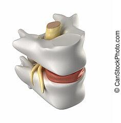 corde, vertèbre, disque, intervertébral, spinal
