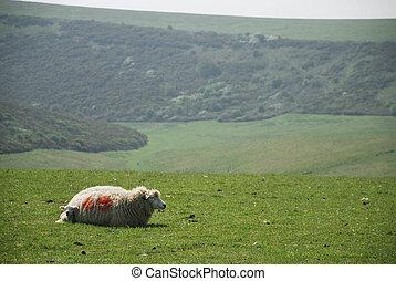 cordeiro, e, ovelha