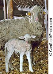 cordero, sheep, joven