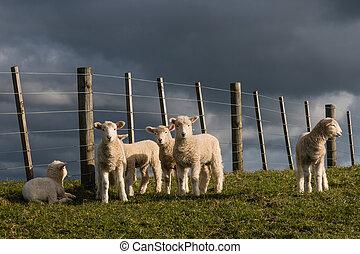 Corderos, Mirar fijamente