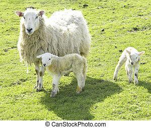 corderos, oveja