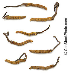 Cordyceps (a genus of ascomycete fungi) in isolated white...