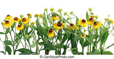 coreopsis, fleurs, frontière