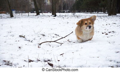 corgi fluffy puppy winter walk - funny corgi fluffy puppy...