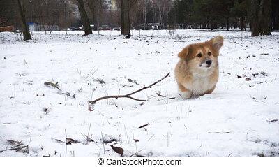 corgi fluffy puppy winter walk - funny corgi fluffy puppy...