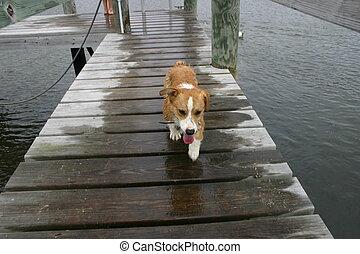 corgi on dock