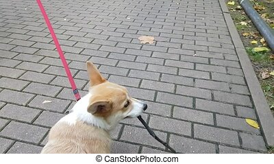 Puppy is walking on the pavement
