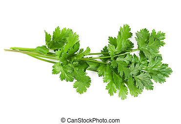 Coriander bunch isolated on white