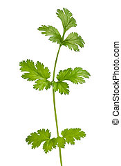 coriander - Coriander sprig isolated on white