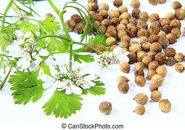 Flowering coriander (Coriandrum sativum) and coriander spices
