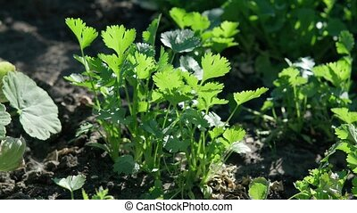 Fresh growing green Coriander (Cilantro) leaves. Selective focus, plant cultivation