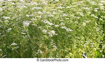 Fresh coriander flowers