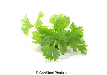 Coriander - fresh green coriander on a white background