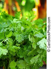 Coriander - Green coriander on the garden
