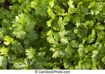 Coriander growing on farm