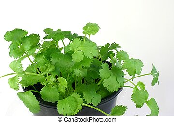 Coriander Herb - Young coriander herb plant in pot