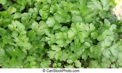 Coriander is loaded with antioxidants, vitamin-A, vitamin-C ...