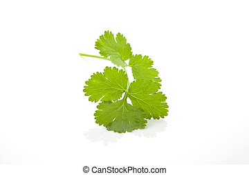 Coriander isolated. - Fresh coriander leaf isolated on white...