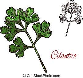 Coriander or cilantro plant sketch of spice herb