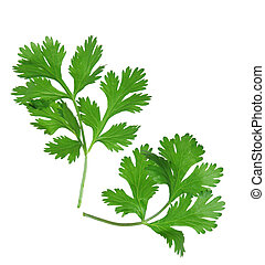 Coriander - Two branches of coriander cilantro isolated on...