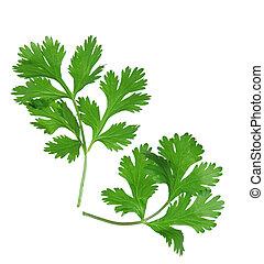 Coriander - Two branches of coriander cilantro isolated on...