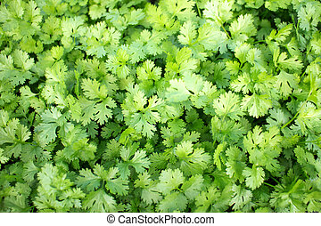 Coriander vegetable