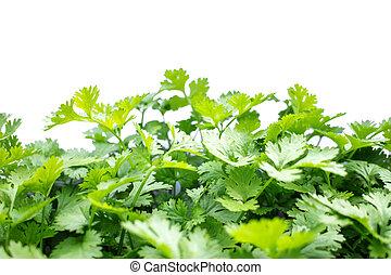 Coriander vegetable