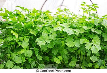 comment planter coriandre