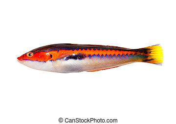 coris julis fish Rainbow Wrasse isolated white